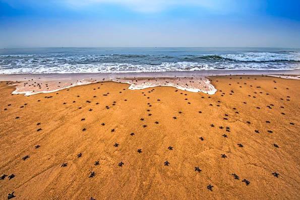 ورود میلیونها بچه لاکپشت به دریا