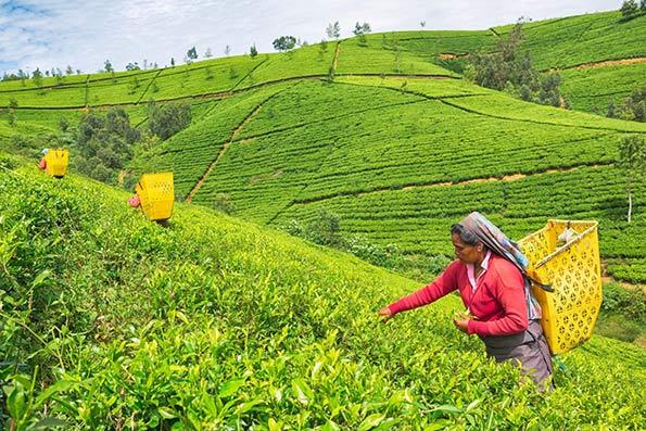 چای هندی , واردات چای , رتبه واردات چای , چای ایرانی